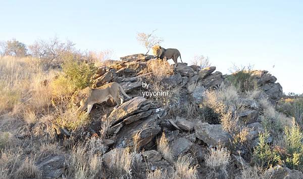 DSC_0535獅子王在岩石上.JPG
