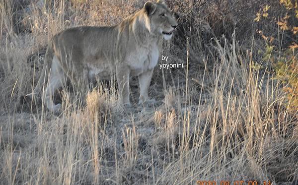 DSC_0550母獅子.JPG
