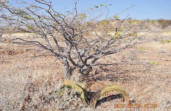 DSC_0801千葉蘭與枯樹.JPG