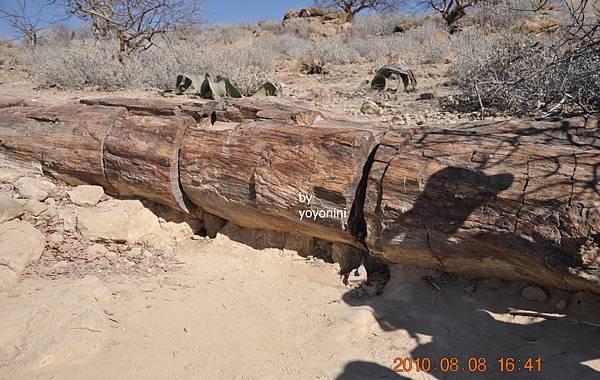 DSC_0837好長巨木化石.JPG