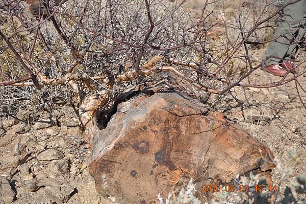 DSC_0822巨木化石紋面.JPG