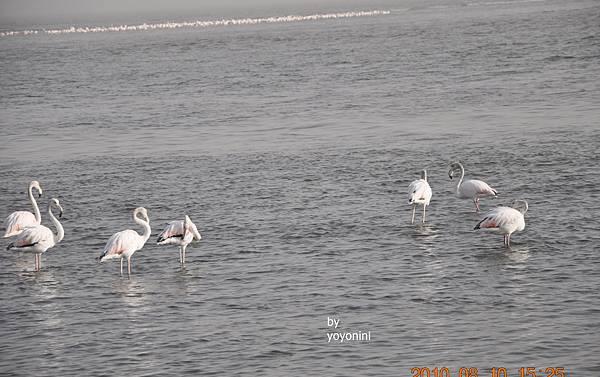 DSC_0065羽色主要白,粉紅,紅.JPG