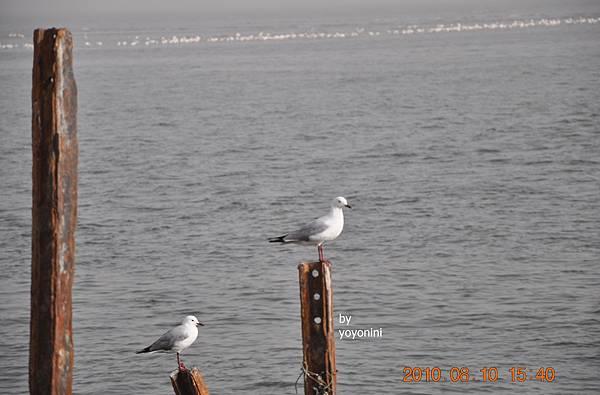 DSC_0070海鷗遠端紅鶴.JPG