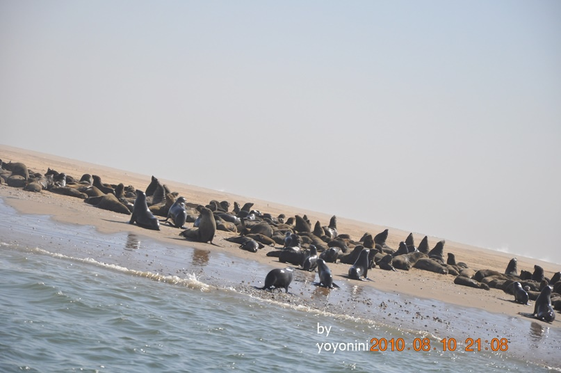 DSC_0259軟毛海豹繁殖力很強.JPG