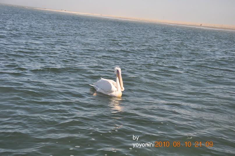 DSC_0262在海裡鵜鴣.JPG
