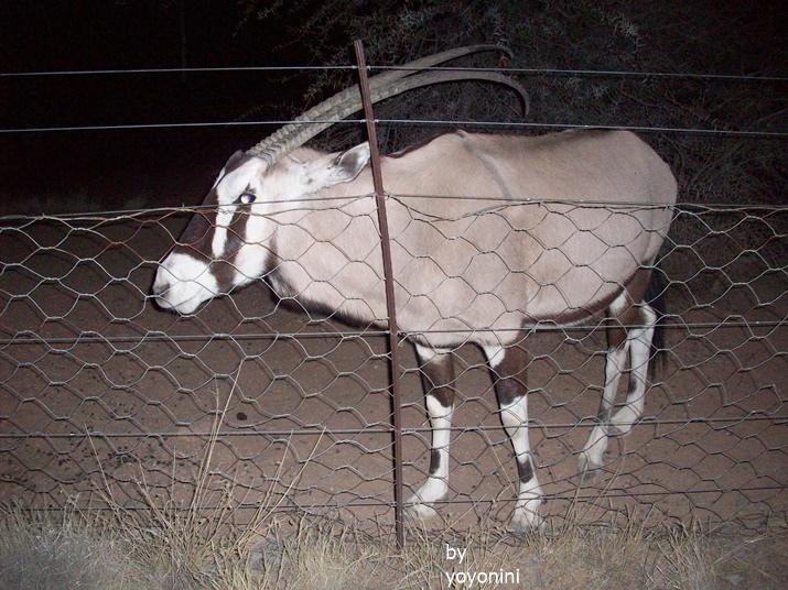100_3352南非劍羚.JPG