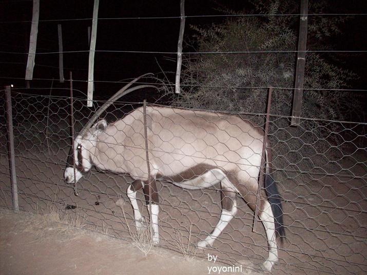 100_3373和團員夜間發現劍羚.JPG