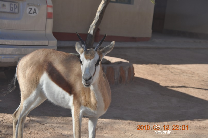 DSC_0312納米比亞跳羚.JPG
