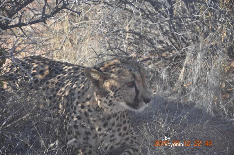 DSC_0381獵豹耳朵較大.JPG