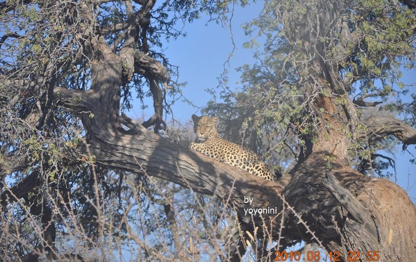 DSC_0394花豹在樹上.JPG