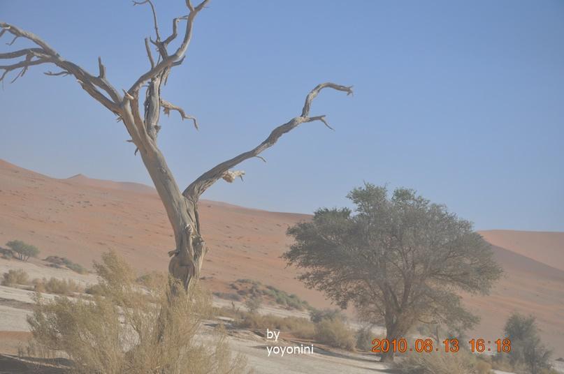 DSC_0612高聳直立駱駝刺槐樹.JPG
