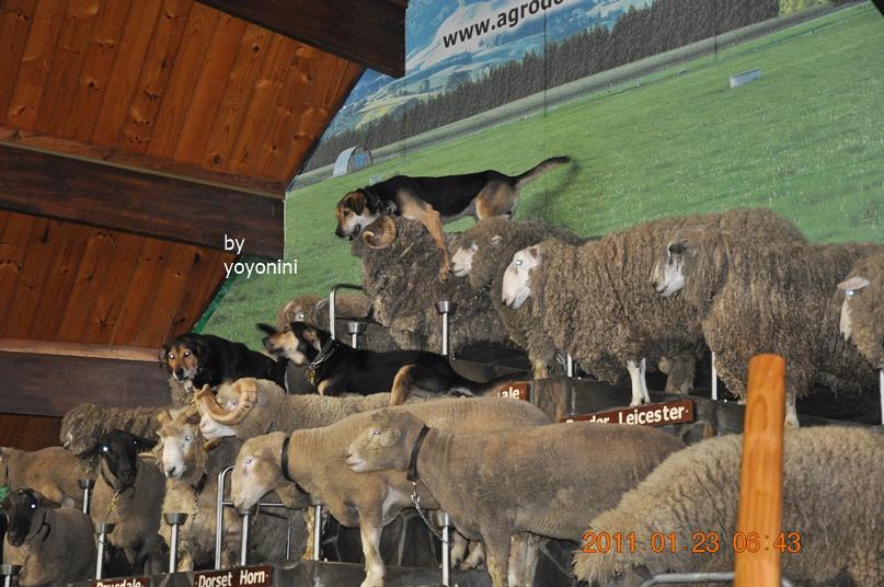 DSC_0779三隻牧羊犬領軍.JPG