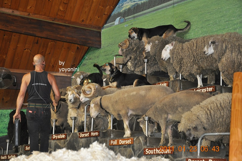 DSC_0780棉羊及牧羊犬聽主持人聲音.JPG