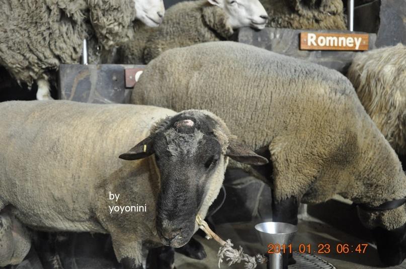 DSC_0791最前棉羊特別.JPG