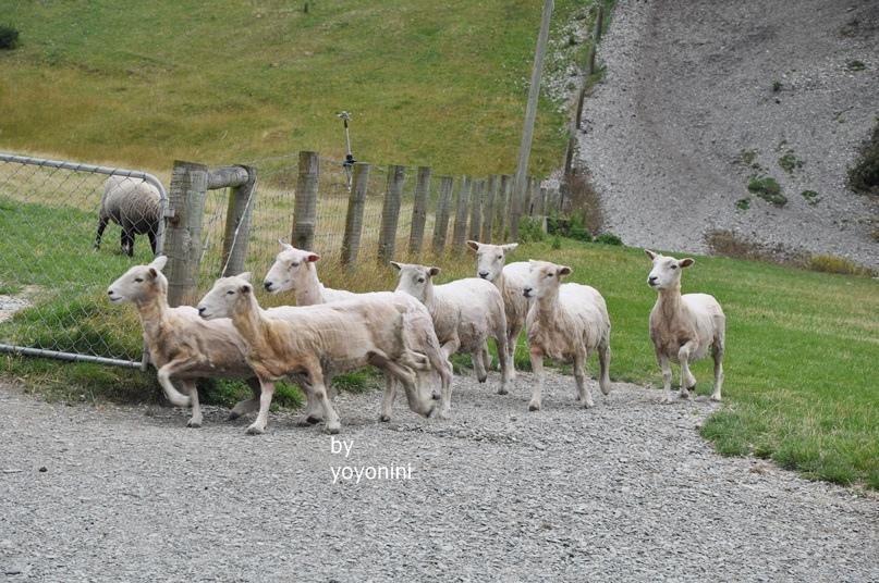 DSC_0365 (3)羊開始跑首圖.JPG