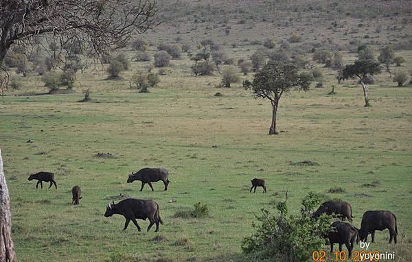 DSC_0341非洲大水牛.JPG