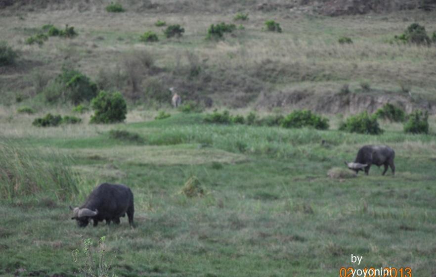 DSC_0346非洲大水牛.JPG