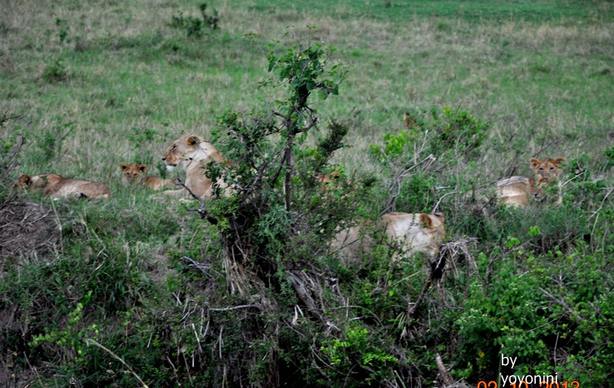 DSC_0372一群獅子.JPG