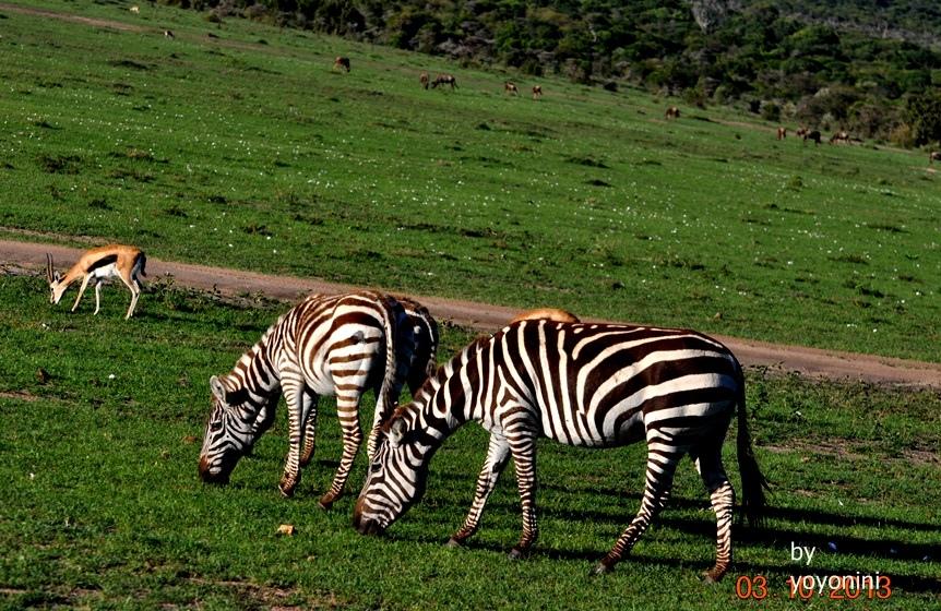 DSC_0430斑馬與羚羊.JPG