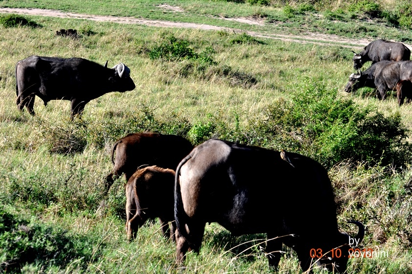 DSC_0463一群非洲大水牛.JPG