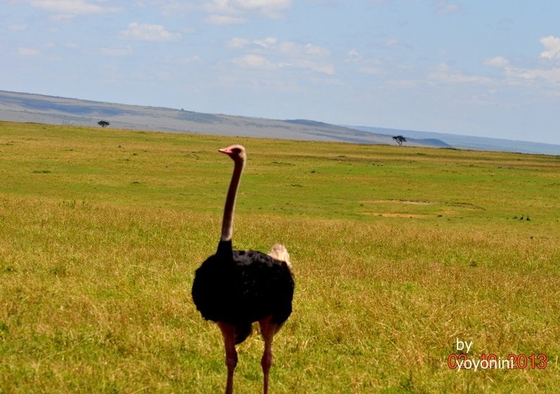 DSC_0583在草原上的鴕鳥.JPG