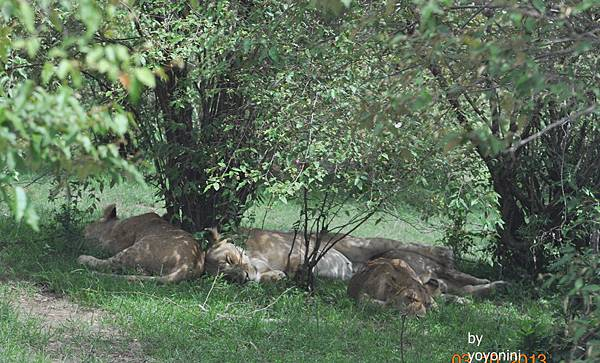DSC_0622睡覺獅子.JPG