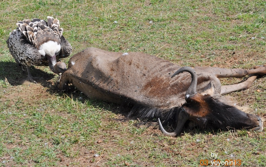 DSC_0626禿鷹正在吃乾屍牛羚.JPG