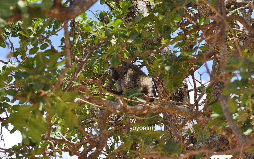 DSC_0039狒狒在樹上.JPG