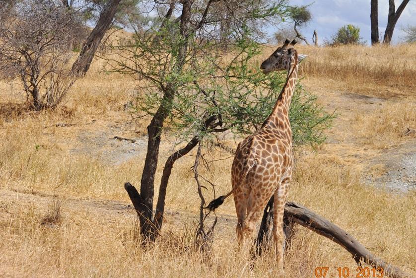 DSC_0047長頸鹿和肯亞不同.JPG