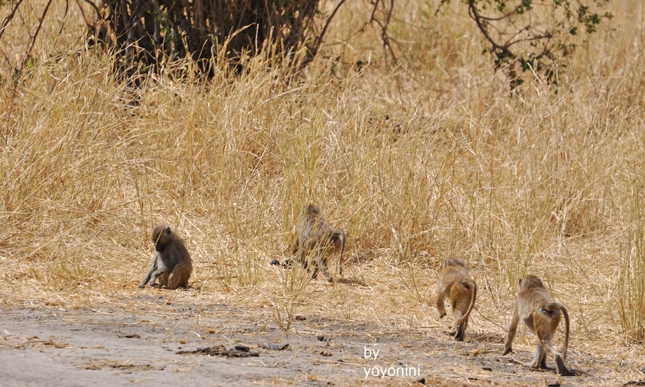 DSC_0048狒狒走在路上.JPG