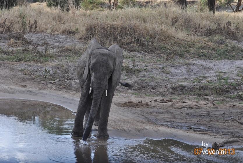 DSC_0103大象用鼻子把水吸進水.JPG