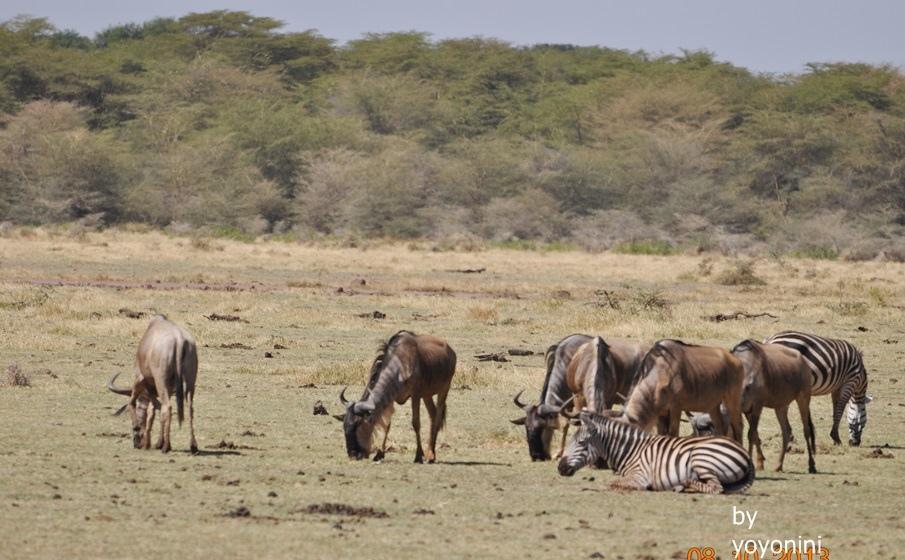 DSC_0185牛羚與斑馬.JPG