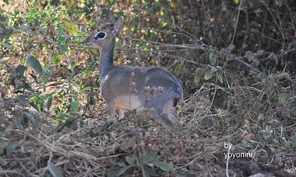 DSC_0223科氏犬羚走進樹林.JPG