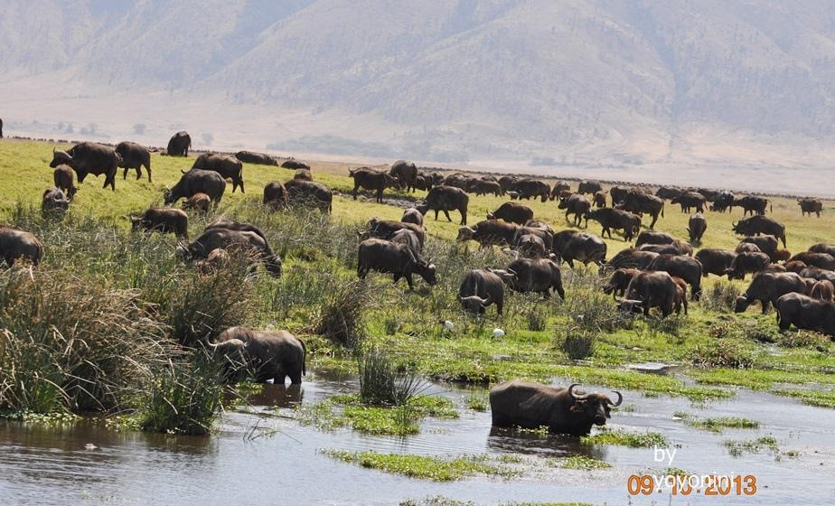 DSC_0263非洲大水牛過河.JPG