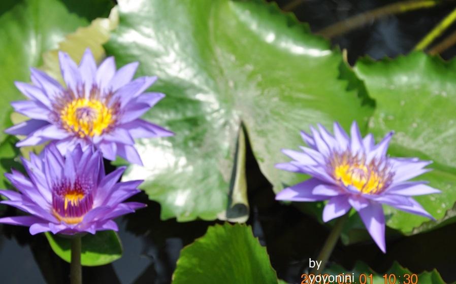 DSC_0030紫色睡蓮.JPG