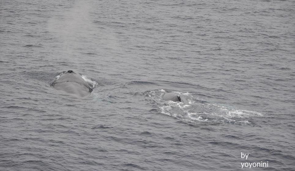 DSC_0574鯨魚的噴氣.JPG