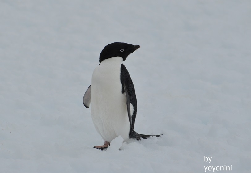 DSC_0718阿德利企鵝.JPG