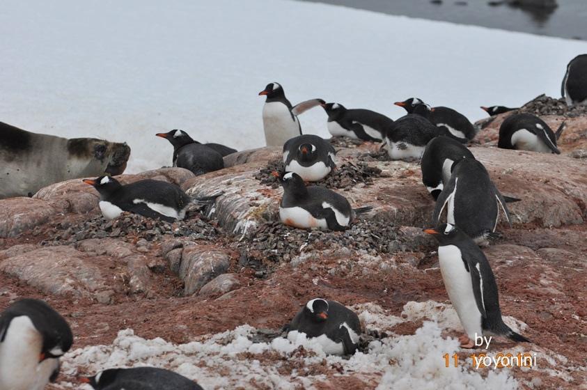 DSC_0722一群企鵝在敷蛋.JPG