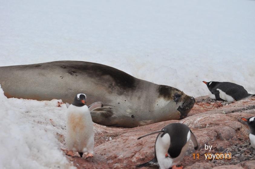 DSC_0724巴布亞企鵝與海豹.JPG