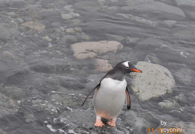 DSC_0869巴布亞企鵝站在水中.JPG