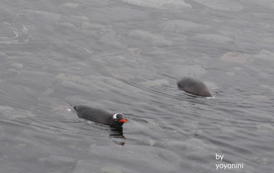 DSC_0893企鵝游泳.JPG
