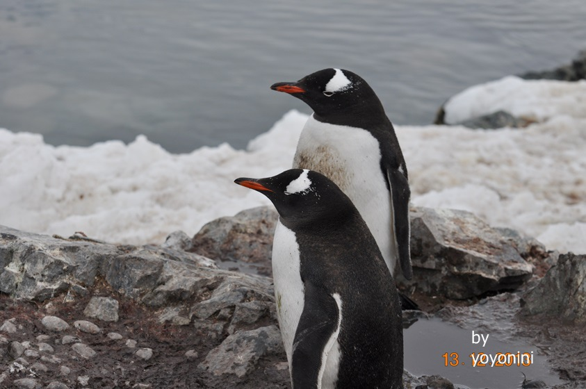 DSC_0085二隻企鵝在南極海附近雪中.JPG