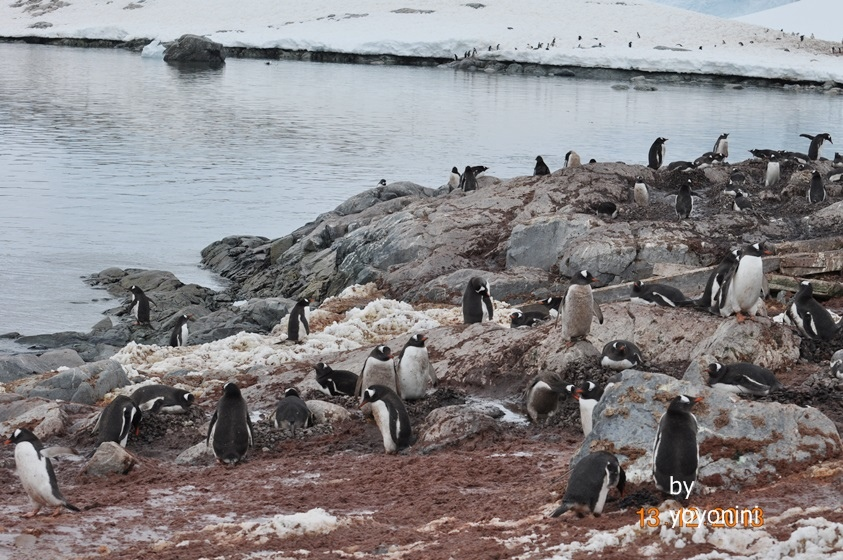 DSC_0089壯觀巴布亞企鵝.JPG