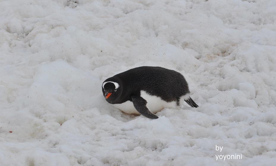 DSC_0145巴布亞企鵝在厚雪中.JPG