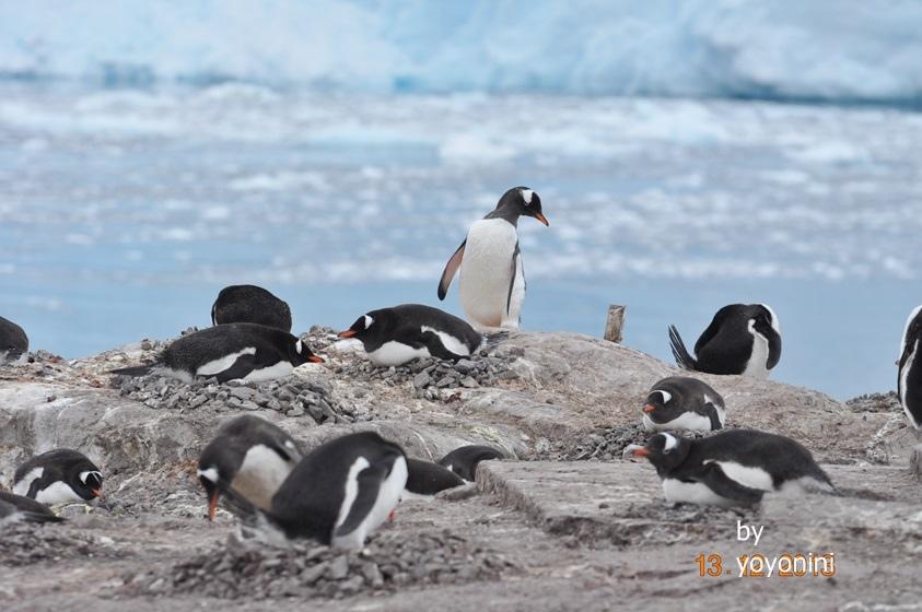 DSC_0185在冰山前的巴布亞企鵝.JPG