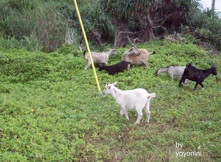 100_2437有年紀大與年紀小,白色應是小羊.JPG