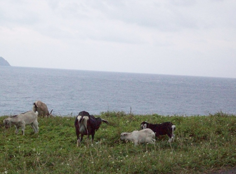 100_2442山羊都野放,小花把海增美了.JPG