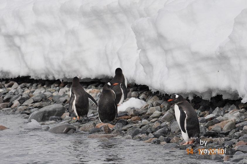 DSC_0658企鵝走在石頭路上.JPG