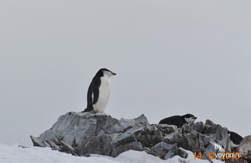 DSC_0798岩石上頰帶企鵝.JPG
