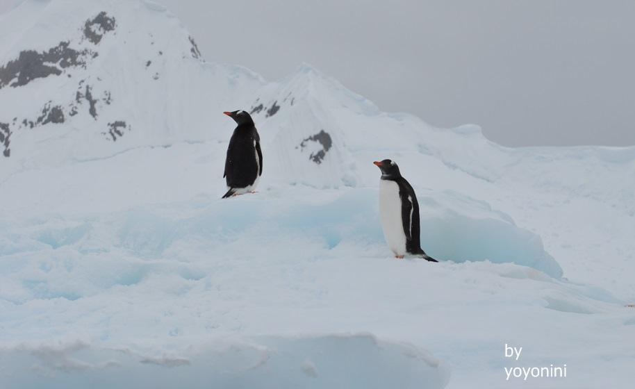 DSC_0948冰山雪地巴布亞企鵝.JPG